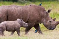 Image of a rhino