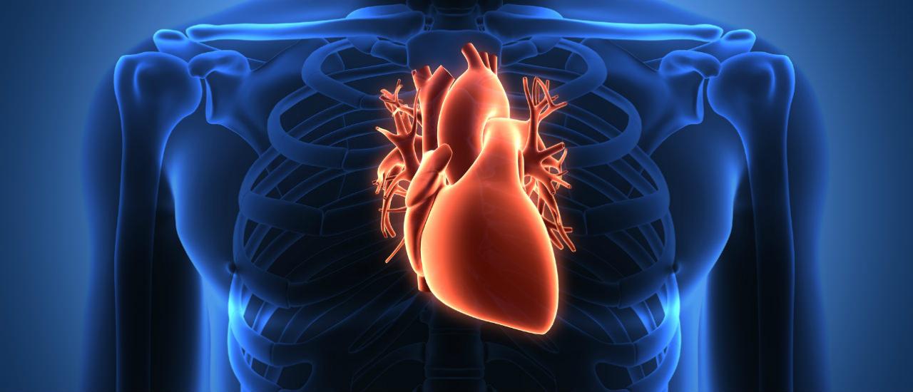 Где находится сердце человека фото